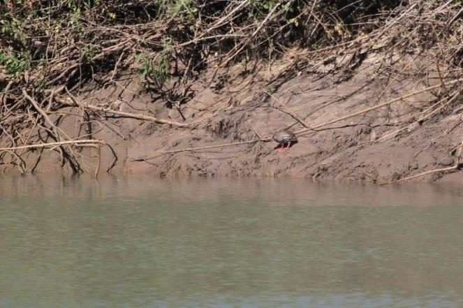 Red-necked Spurfowl - Cunensis, Hippo Pools, Ruacana