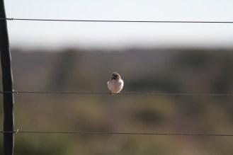 Scaly-feathered Finch. Ondekaremba