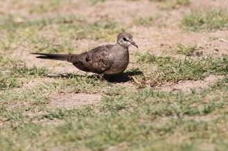 Namaqua Dove after a mud bath!. Brandberg