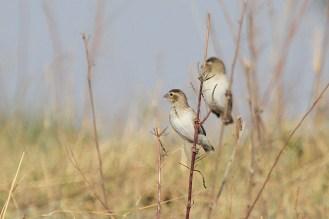 Perplexes - for ID, Chobe NP, Botswana