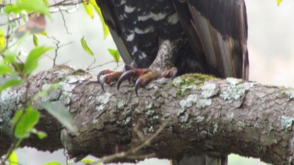 Crowned Eagle - check out those talons!