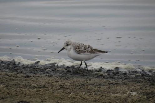 Sanderling. Walvis Bay