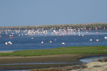 Flamingos in one of the Salt Works pans.. Walvis Bay