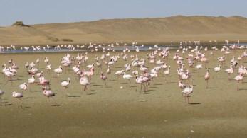 Desert Flamingos. Walvis Bay