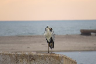 Cold and bedraggled Grey Heron at the Estuary. Swakopmund