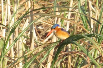Malachite Kingfisher. Shamvura
