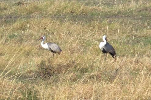Wattled Cranes. Buffalo Park.