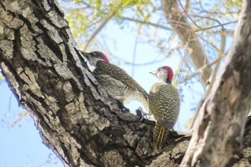 Golden-tailed Woodpeckers (M&F). Nambwa