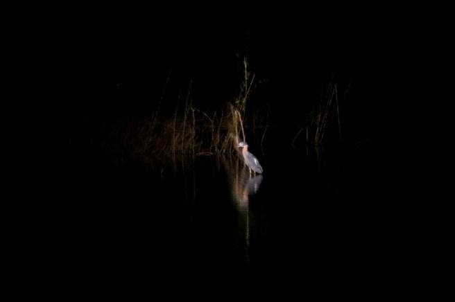 White-backed Night-Heron. Katima Mulilo, Caprivi