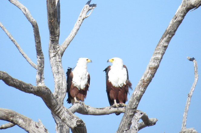 African Fish-Eagles, Chobe NP