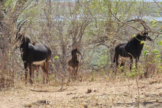 Sable antelopes with young.