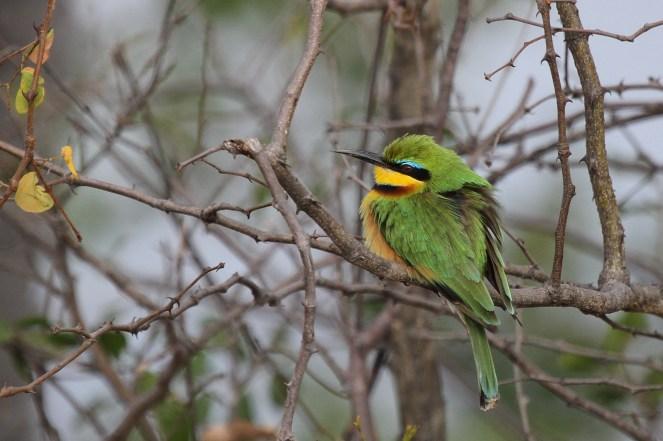 Little Bee-eater. Buffalo Park.