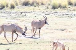 Roan Antelope. Mahango