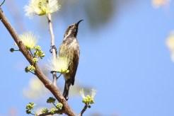 Sunbird - Which? Marico? Amethyst? a.n. other? Nunda, Caprivi.