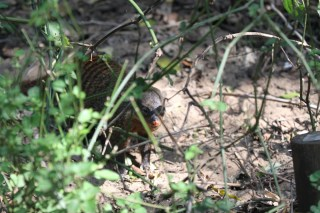Banded Mongoose inspecting us.