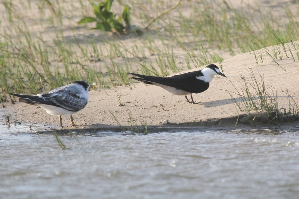 Sooty Tern and Swift Tern