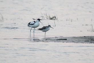 Pied Avocet and Marsh Sandpiper