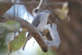 Ashy Flycatcher. Katima Mulilo, Caprivi