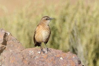 Buff-streaked Chat - female
