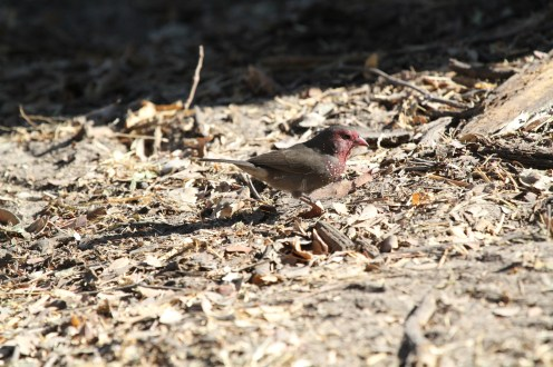 Brown Firefinch. Nambwa