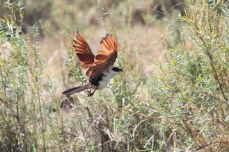 Coppery-tailed Coucal. Shamvura.
