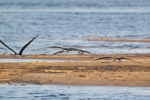 African Skimmers. Shamvura