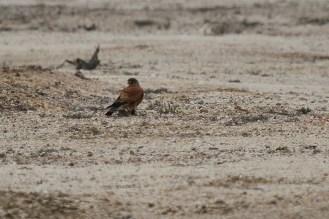 Rock Kestrel and prey.. Swakopmund