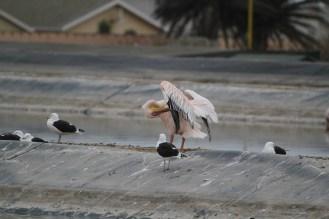 Great White Pelican at the sewerage works. Swakopmund