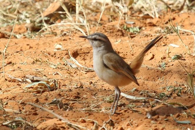 Karoo Scrub-Robin. Waterberg, Namibia