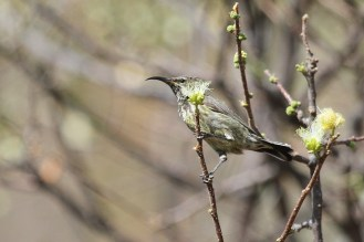 Marico Sunbird - juvenile. Waterberg, Namibia
