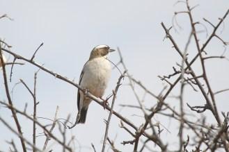 White-browed Sparrow-Weaver. Waterberg, Namibia