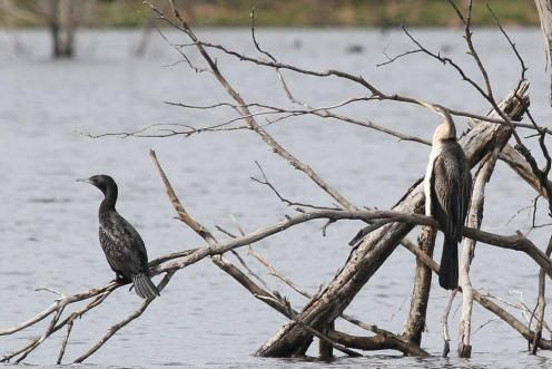 Australian Darter & Little Black Cormorant - Lake Eppalock nr Bendigo