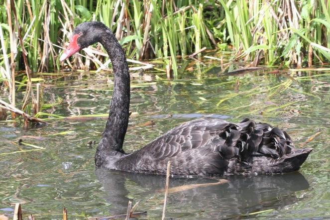 Black Swan - Bot Gardens, Melbourne