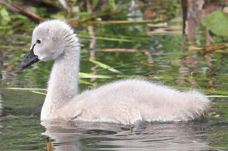 Black Swan signet - Bot Gardens, Melbourne