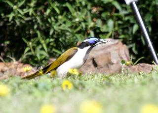 Blue-faced Honeyeater - Bendigo