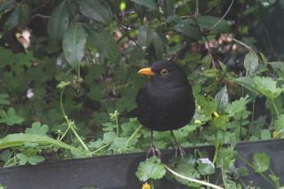 Common BLackbird - Bendigo