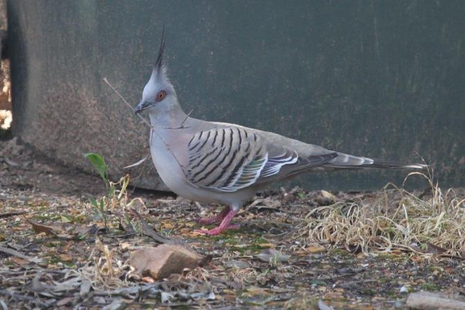 Crested Pigeon - Bendigo