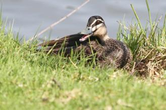 Pacific Black Duck, Bendigo