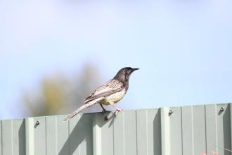 Red Wattlebird- Bendigo