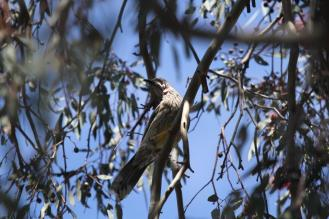 Red Wattlebird - Bendigo