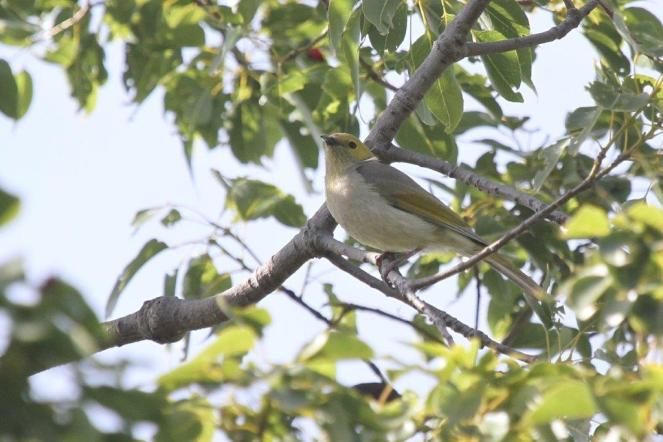 White-plumed Honeyeater, Bendigo