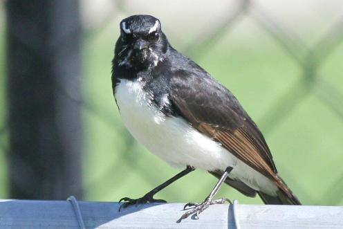 Willie Wagtail - Bendigo