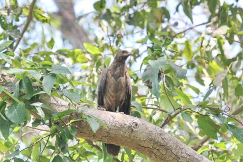 Wedge-tailed Eagle, Holmes Jungle