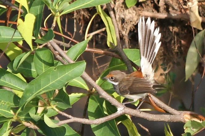 Arafura Fantail, Gagudju - Yellow Water