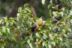 Australasian Figbird, Katherine