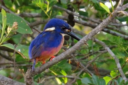 Azure Kingfisher, Gagudju,Yellow River