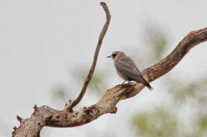 Black-faced Woodswallow, Buntine Highway