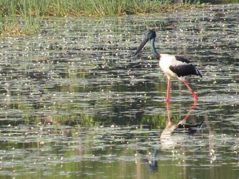 Black-necked Stork, McMinn's Lagoon