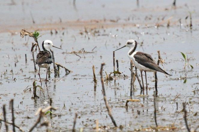 Black-winged Stilts, Knuckley Lagoon