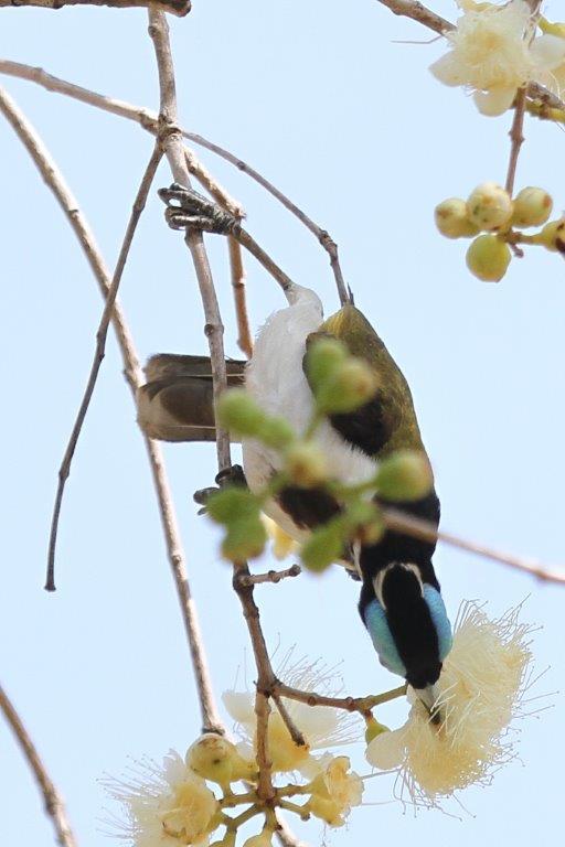 Blue-faced Honeyeater 1, Gagudju